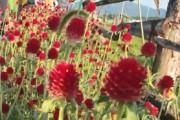 철원 DMZ평화꽃송이 축제
